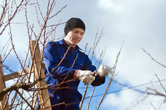 Young man pruning apricot branches using ladder Royalty Free Stock Photos