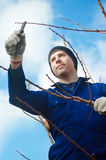 Young man  pruning apricot brunches Stock Images