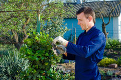 Young man pruning ivy. Young man  pruning ivy with the prune Stock Photos