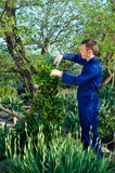 Young man  pruning ivy. With the pruner Royalty Free Stock Images