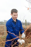 Young man  pruning vine branch Stock Photography
