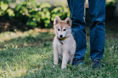 Young man with puppy. Young man with beautiful Siberian Husky puppy Stock Photo
