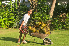 Young man pushing load of coconuts. Royalty Free Stock Images