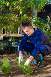 Young man raking soil near parsley Stock Photography