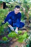 Young man raking soil near salad Royalty Free Stock Image