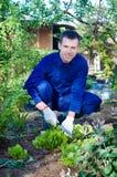 Young man raking soil near salad Royalty Free Stock Photos