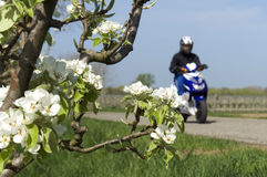 Young man riding on scooter along blossom trees royalty free stock photo
