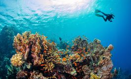 Young man scuba diver exploring coral reef. Underwater fauna and flora, marine life royalty free stock images