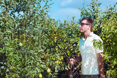 Young man spraying pear trees Stock Photos
