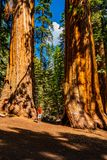 Young man standing by the huge sequoia tree in the Sequoia National Park. royalty free stock photography