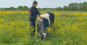 Young man stroking a cow at the field. stock video footage
