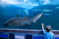 Young man touching a tank with fish and shark Stock Photography