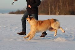A young man training his dog golden retriever. Stock Photo