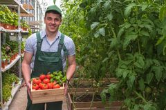 A young man in uniform works in a greenhouse. Fresh season vegetables. Happy man with crate tomatoes. stock photography