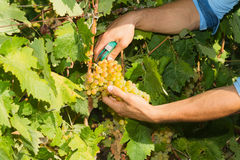 Young man, vine grower, in the vineyard. Stock Images