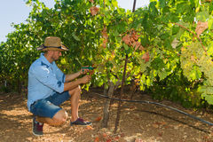 Young man, vine grower, in the vineyard. Stock Image