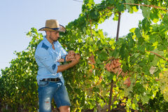 Young man, vine grower, in the vineyard. Royalty Free Stock Photo
