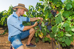 Young man, vine grower, in the vineyard. Royalty Free Stock Image