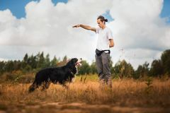 Young man walking with Bernese Mountain Dog on the summer field. Side view at a young stylish caucasian man training Bernese Mountain Dog on the summer field royalty free stock photo