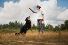 Young man walking with Bernese Mountain Dog on the summer field. Side view at a young stylish caucasian man training Bernese Mountain Dog on the summer field royalty free stock image