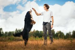 Young man walking with Bernese Mountain Dog on the summer field. Side view at a young stylish caucasian man training Bernese Mountain Dog on the summer field stock photos