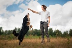 Young man walking with Bernese Mountain Dog on the summer field. Side view at a young stylish caucasian man training Bernese Mountain Dog on the summer field stock photography