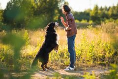 Young man walking with Bernese Mountain Dog on the summer field. Side view at a young stylish caucasian man training Bernese Mountain Dog on the summer field stock images