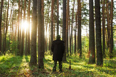 Young man is walking in a pine forest on sunrise. Royalty Free Stock Images