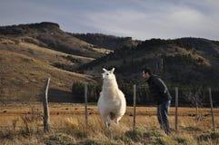Young man watching a Llama Royalty Free Stock Photo