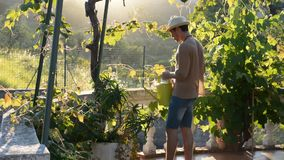 Young man watering plants in garden stock video