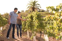 A young man and woman inspecting the vineyards Royalty Free Stock Photo