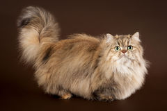 Young manchkin cat Royalty Free Stock Photography