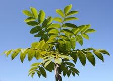 Young Manchurian walnut tree Royalty Free Stock Photo