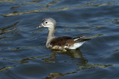 Young of mandarin duck Royalty Free Stock Images