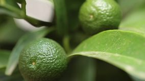 Young Mandarin Oranges Closeup. Video clip of branch with young green mandarin orange in the month of August stock video footage