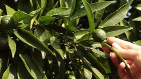 Young Mandarin Oranges. Video clip of branch with young green mandarin orange in the month of August stock video footage