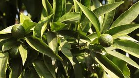 Young Mandarin In The Tree. Video clip of branch with young green mandarin orange in the month of August stock video