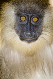 Young mandrill Royalty Free Stock Images