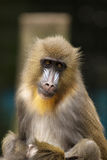 Young mandrill looking at you Royalty Free Stock Photo