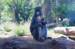 Young mandrill male with a fruit Stock Photos