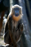 Young Mandrill Monkey Sitting on his Haunches Royalty Free Stock Images