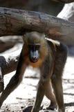 Young Mandrill Monkey Walking Under a Wood Log Royalty Free Stock Image