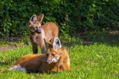 Young Maned Wolf stock image