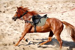 Horse Training. A young  mangalarga breed horse on lunge in the arena Stock Image