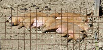 Young Mangalica pigs behind reinforcing mesh Stock Photography