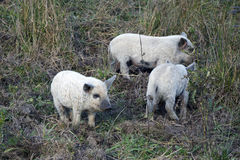 The young of mangalitsa pig Stock Image