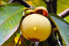 Young mangosteen. Royalty Free Stock Photography