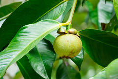 Young mangosteen stock images