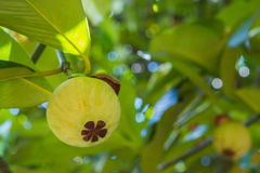 Young mangosteen on tree Royalty Free Stock Images
