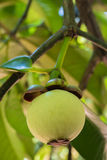 Young mangosteen on tree royalty free stock photos